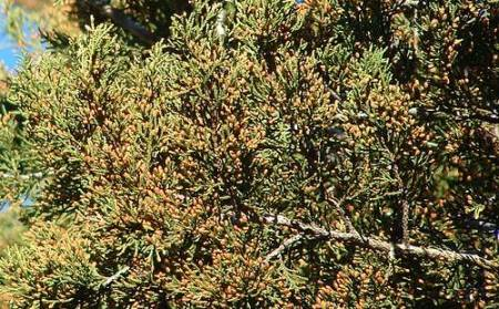 Mountain cedar a well known allergen in Dallas